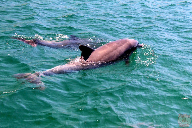 Dolphins in Jervis Bay 3