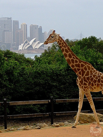 Giraffe and Sydney Opera House at the Sydney Taronga Zoo