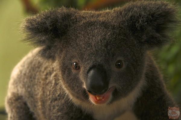 koala, Featherdale wildlife park Sydney