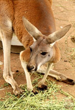 Kangaroo, Featherdale wildlife park Sydney