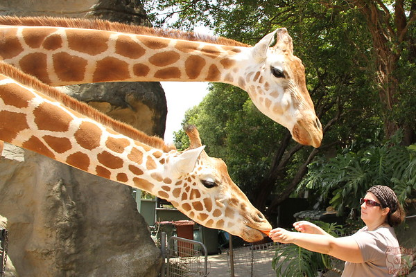 Feeding giraffes as keeper for a day at Taronga zoo 7