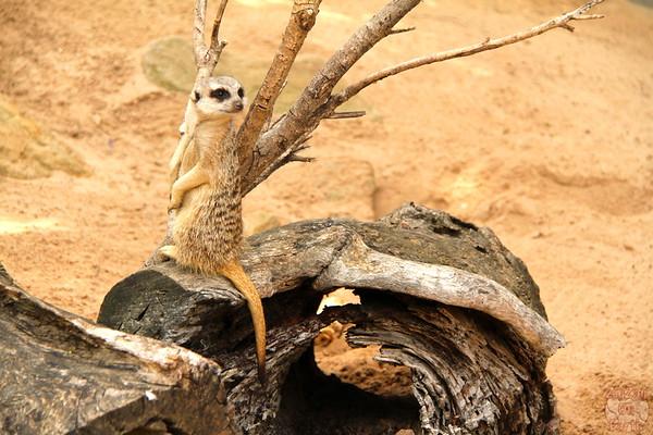 Meerkat of Taronga zoo