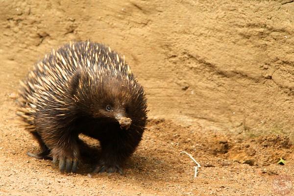 echidna, Featherdale wildlife park Sydney
