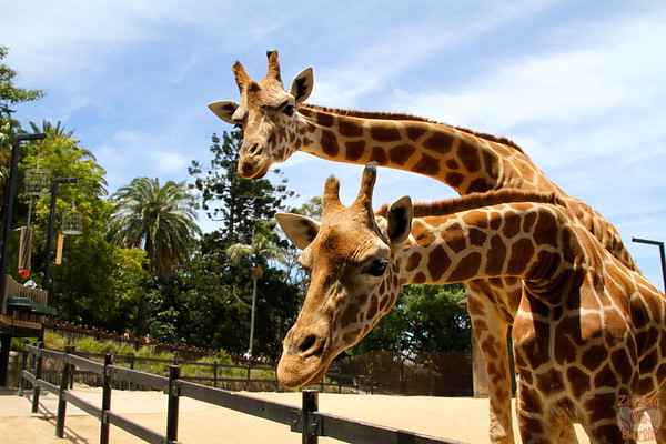 Feeding giraffes as keeper for a day at Taronga zoo 2