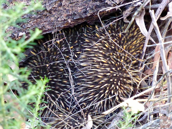 wild echidna spotted on day tour from Sydney
