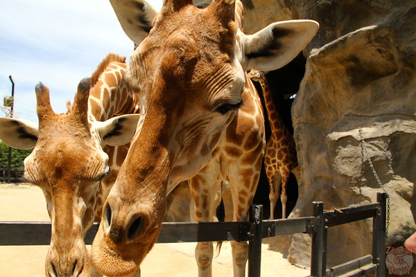 Feeding giraffes as keeper for a day at Taronga zoo 3