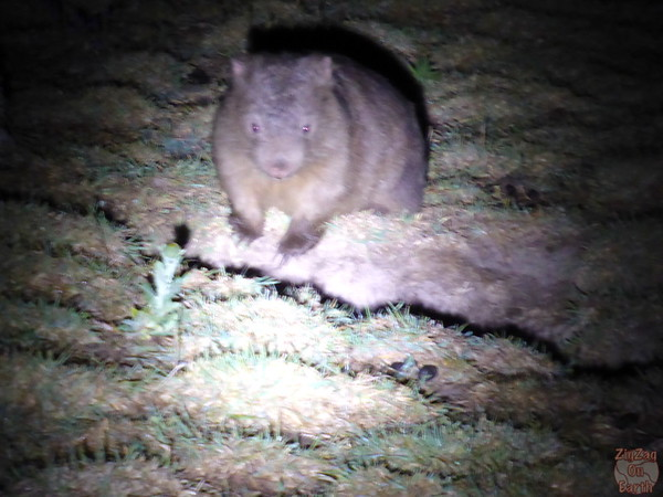 wild wombat spotted at night on tour from Sydney