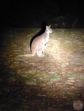 wildlife of Sydney - wild kangaroo spotted at night on tour from Sydney