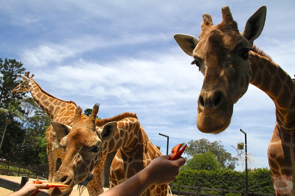 Feeding giraffes as keeper for a day at Taronga zoo 4