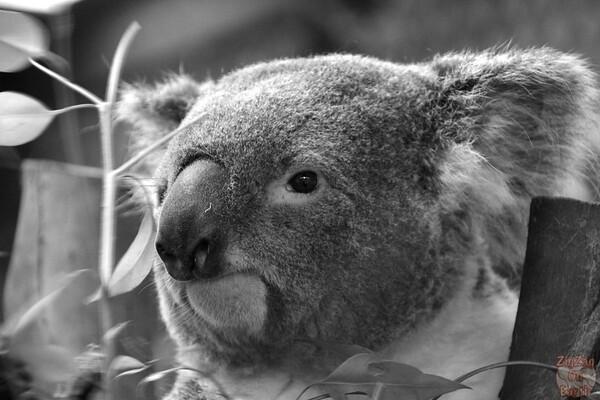 koala, Featherdale wildlife park Sydney 2