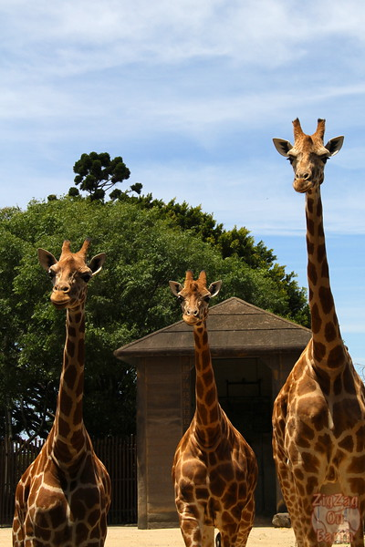 Feeding giraffes as keeper for a day at Taronga zoo 1