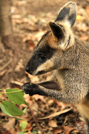wallaby, Featherdale wildlife park Sydney