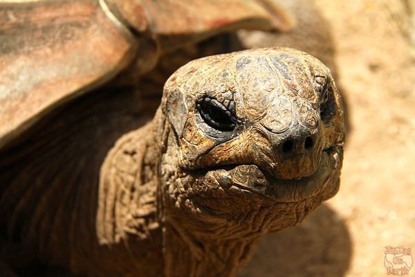 Meeting a tortoise as keeper for a day at Sydney Taronga zoo 2