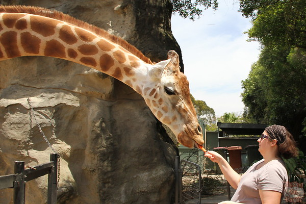 Feeding giraffes as keeper for a day at Taronga zoo 6