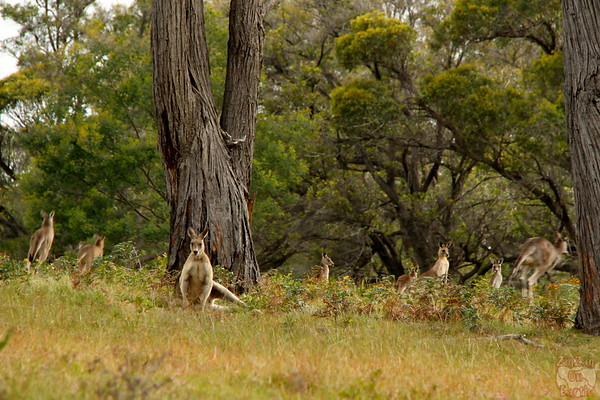 How to see Kangaroos in Sydney - Wild kangaroos around Sydney, Australia