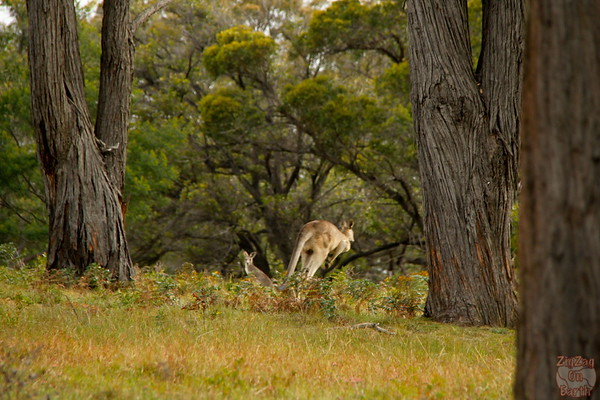 jumping Wild kangaroos around Sydney, Australia