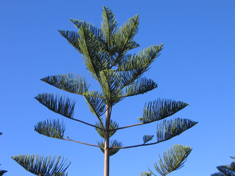 Some tree, Manly Beach