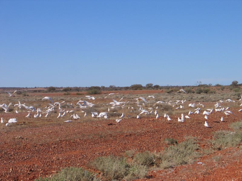A flock of Cockatoos on the Stuart.
