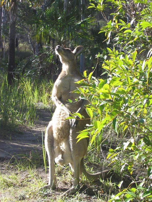 Grey Kangaroo. He's standing a little over 5 ft tall.