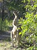 Grey Kangaroo. He's standing a little over 5 ft tall.
