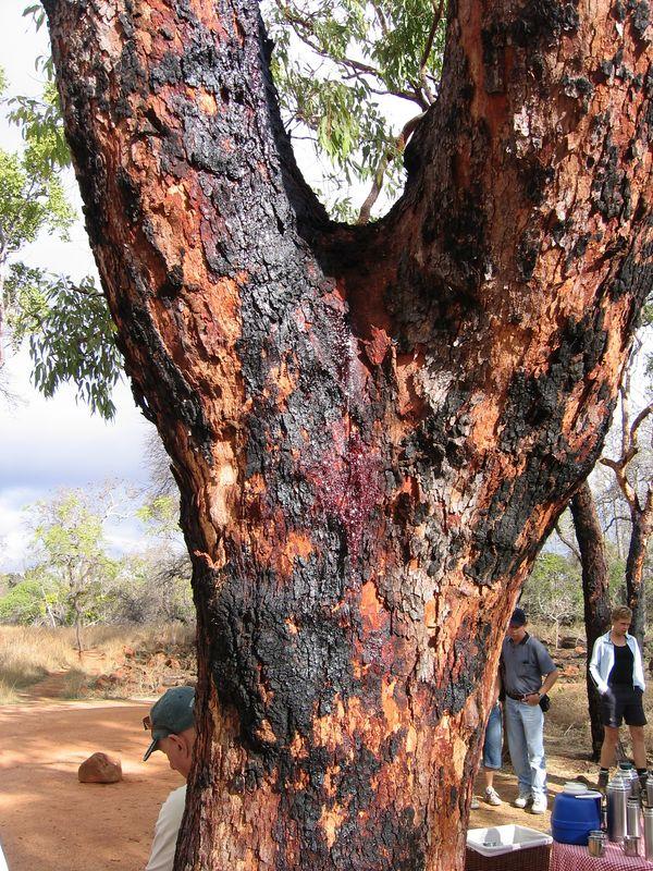 Bleeding gum tree. The sap makes a good bandage.