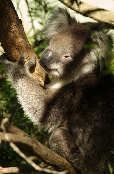 Koala bear, Taronga Zoo, Sydney