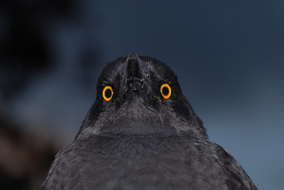Black Currawong