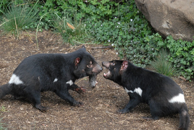 Tasmanian Devils fight over a  scrap of food