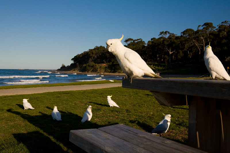 sulfur crested cockatoos in Lorne, south of Melbourne on the Great Ocean Road, Victoria