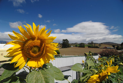 Sunflower, Sheffield TAS