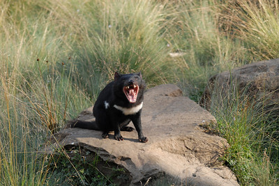 Tasmanian Devil showing off.