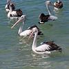 Pelicans on Noosa River