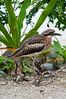 A young Bush Stone-curlew