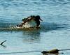 Australia, Tasmania, Pied Oystercatcher