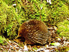 Australia, Tasmania, Mount Field National Park, Short-beaked Echidna