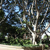A large tree in Sydney.