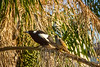 An Australian Magpie and a Common Myna.