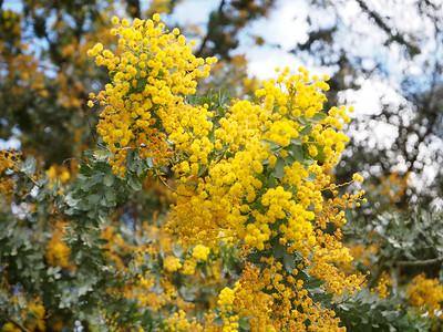 The golden wattle, Australia's national flower