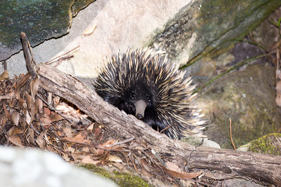 Echidna on the trail to  Boolimba Bluff