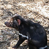 Tasmanian Devil Unzoo