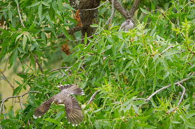 Red Wattle Bird Feeding Young