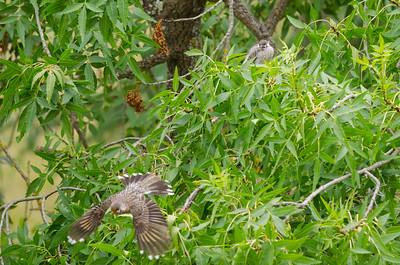 Red Wattle Bird Feeding Young