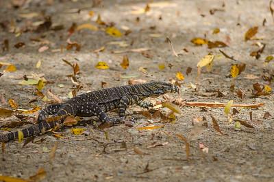 Monitor Lizard