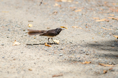 Willie Wagtail with Ant