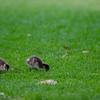 Australian Wood Duck Chicks