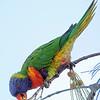Rainbow Lorikeet at Jamieson Park.