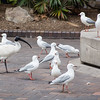 White Ibis & Silver Gulls, The Rocks, Sydney