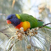 Rainbow Lorikeet at Moreton Bay Cycleway near Bird O Passage Parade.