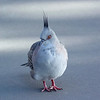 Crested Pigeon at Scarborough Beach.