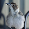 This juvenile grey butcherbird kept visiting us on Meredith's porch.